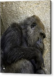 Acrylic Print featuring the photograph Lowland Gorilla by Gary Neiss