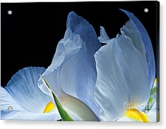 Acrylic Print featuring the photograph Lt Blue Iris 2013 by Art Barker