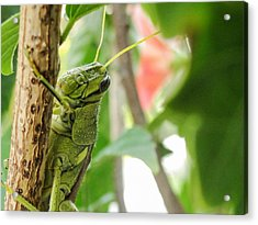 Acrylic Print featuring the photograph Lubber Grasshopper by TK Goforth