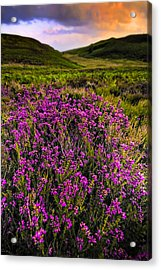 Lucky Heather Acrylic Print by Meirion Matthias