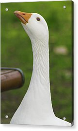 Acrylic Print featuring the photograph Lucy Goose 2  by Naomi Burgess