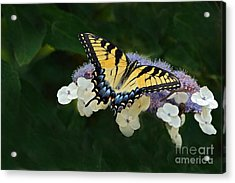Luminous Butterfly On Lacecap Hydrangea Acrylic Print by Byron Varvarigos