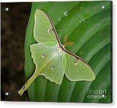 Luna Moth Acrylic Print by Alana Ranney