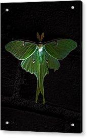 Lunar Moth Acrylic Print
