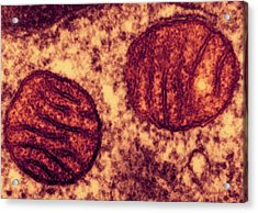 Lung Mitochondria Acrylic Print by Ami Images/dartmouth College - Louisa Howard