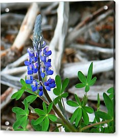 Lupin And Driftwood Acrylic Print by Art Block Collections