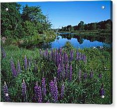 Lupin And Lake Acrylic Print