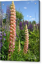 Acrylic Print featuring the photograph Lupin Summer by Martin Howard