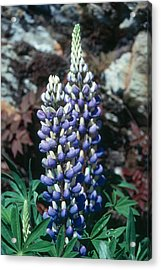 Lupine 2 Acrylic Print by Andy Shomock