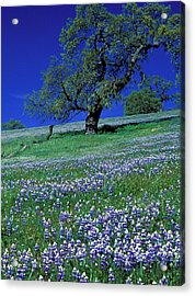 Lupine And The Leaning Tree Acrylic Print by Kathy Yates