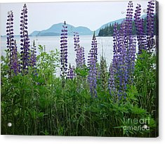 Lupine At Sorrento Acrylic Print by Christopher Mace