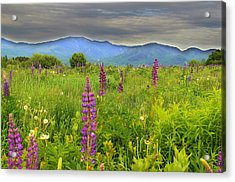 Lupine Breeze  Acrylic Print by Andrea Galiffi