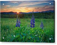 Lupine Sunrise Acrylic Print