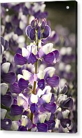 Acrylic Print featuring the photograph Lupine Wildflowers by Sonya Lang