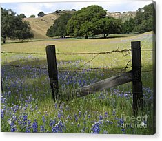 Lupines And Oaks Acrylic Print