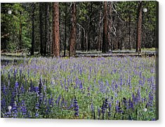 Acrylic Print featuring the photograph Lupines In Yosemite Valley by Lynn Bauer