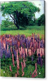 Lupines Midcoast Maine Acrylic Print by Cindy McIntyre