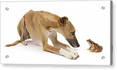 Lurcher Dog And Common Frog Acrylic Print