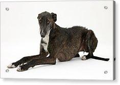 Lurcher Dog Acrylic Print by Hazel Taylor