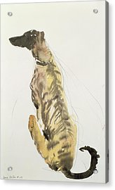 Lurcher Sitting Acrylic Print by Lucy Willis