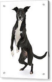 Lurcher Standing On Hind Legs Acrylic Print by Mark Taylor