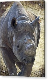 Lurching Rhino Acrylic Print by Bill Tiepelman