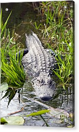 Lurking Alligator Acrylic Print