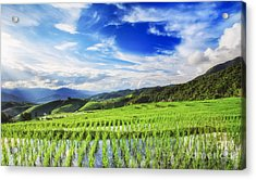Lush Green Rice Field  Acrylic Print