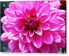 Acrylic Print featuring the photograph Lush Pink Dahlia by Judy Palkimas