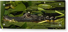 Lying In Wait Acrylic Print by Vivian Christopher