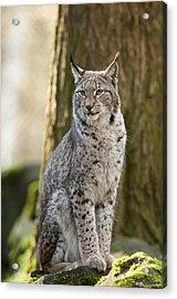 Lynx Acrylic Print by Andy-Kim Moeller