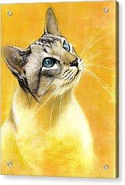 Lynx Point Siamese Acrylic Print