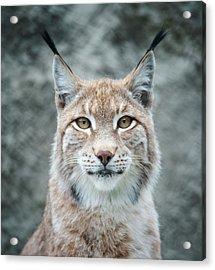 Lynx Portrait Acrylic Print by Photographs By Maria Itina