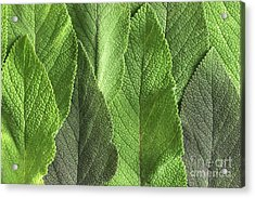 M7500790 - Sage Leaves Acrylic Print by Spl