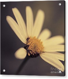 Ma Marguerite - S05v3 Acrylic Print by Variance Collections
