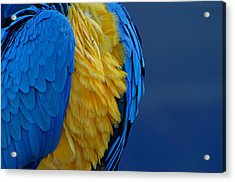 Macaw Blue Yellow Blue Acrylic Print by Colleen Renshaw
