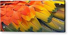 Macaw Yellow Acrylic Print by Colleen Renshaw