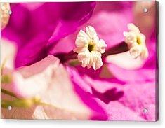 Macro Bougainvillea Bloom 2 Acrylic Print