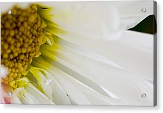 Macro Daisy Acrylic Print by John Holloway