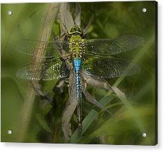 Macro Dragonfly Acrylic Print by Jack Zulli