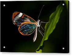 Acrylic Print featuring the photograph Macro Photograph Of A Glasswinged Butterfly by Zoe Ferrie