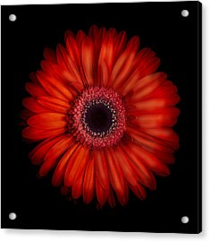 Macro Photograph Of An Red And Orange Gerbera Daisy Against A Black Background Acrylic Print