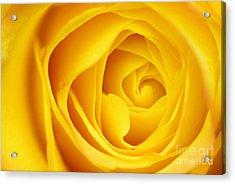 Macro Yellow Rose Acrylic Print by Patrick Dinneen