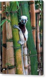 Madagascar Sifaka Baby Lemur Acrylic Print by Mariusz Kluzniak