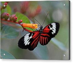 Madiera Butterfly Acrylic Print by Juergen Roth