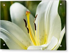 Madonna Lily - Featured 3 Acrylic Print by Alexander Senin