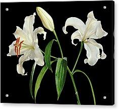 Madonna Lily (lilium Candidum) Acrylic Print by Gilles Mermet