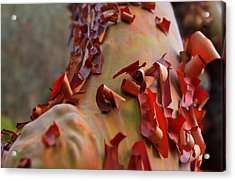 Madrone Tree Acrylic Print by Brian Xavier