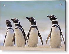 Magellanic Penguins Carcass Island Acrylic Print
