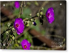 Magenta Flowers Acrylic Print by Aaron Fromenthal
